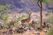 Klipspringer on the alert