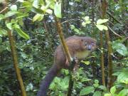 Brown lemur in the Kirindy Forest